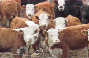 Auction cows stare