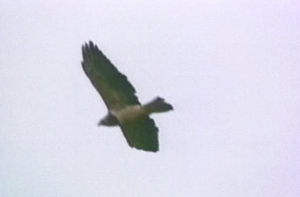 hawk_close_crop
